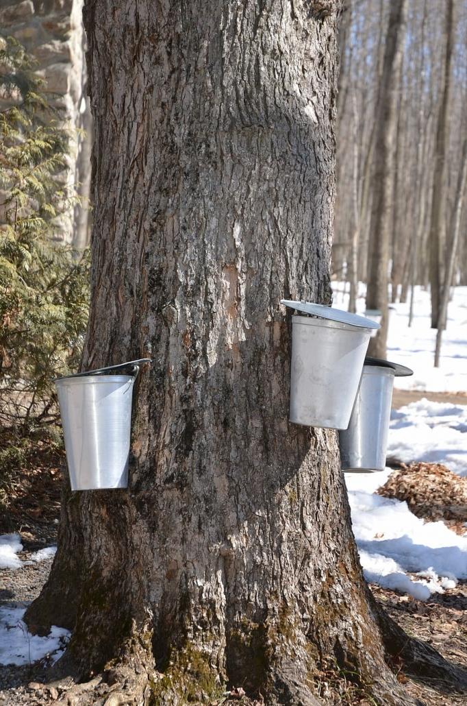 Ahorn Baum Sirup
